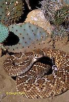 1R15-043a Western Diamondback Rattlesnake - Crotalus atrox - Southwestern desert