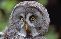 Bartkauz, Bart-Kauz, Portrait, Strix nebulosa, great grey owl, great gray owl