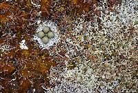 Black Turnstone (Arenaria melanocephala) nest lined with lichens. Very few Black Turndstones nest outside of the Yukon Delta refuge. Yukon Delta National Wildlife Refuge, Alaska. June.
