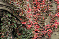 Ivy at Trumbull College, Yale University, New Haven, CT