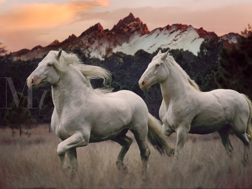 American White Draft Horses - composite image.