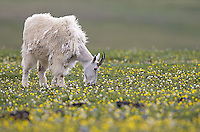 A mountain goat photographed on the Beartooth Pass outside of Yellowstone.
