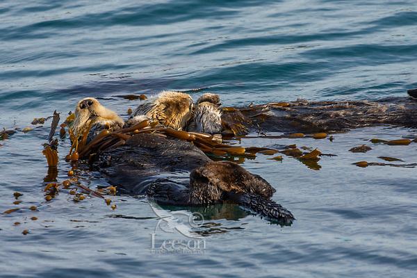 Sea Otters (Enhydra lutris) resting in kelp.  California coast.