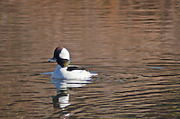 A Bufflehead duck floating in the lagoon at Ponponio State Beach, California