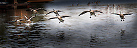 The collective noun for a group of geese in flight is skein, and here, seven Canada geese barely qualify as flying as they come in for a landing.  Image cropped to a pano perspective of 8.5 X 3.