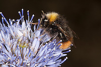 Wiesenhummel, Wiesen-Hummel, Bombus pratorum, syn. Pyrobombus pratorum, Arbeiterin beim Blütenbesuch, Nektarsuche, Bestäubung, early bumble bee