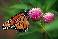 Monarch butterfly, danaus plexippus, rests on a Globe Amarath flower (Glomphrena Globosa)