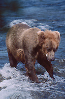 609682140 a wild adult brown bear ursus arctos stands in the brooks river below the falls after eating a salmon in katmai national park alaska
