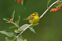 Hooded Warbler (Wilsonia citrina), adult female, South Padre Island, Texas, USA