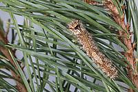 Nonne, Nonnenspinner, Nonnen-Spinner, Raupe frisst an Kiefer, Lymantria monacha, black arches, nun moth, caterpillar, la Nonne, Noctuidae, Eulenfalter, Lymantriinae, Trägspinner, Schadspinner