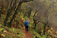 Walking through Oak Woodland on the West Highland Way near Inverarnan, Loch Lomond and the Trossachs National Park
