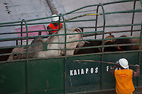 O navio MV Trigguer, de bandeira libanesa, carrega 10.200 cabeças de gado com destino a Venezuela, de onde retorna para novo carregamento, este para o Libano.  Com cinquenta tripulantes sírios e capacidade para transportar mais de  10.500 cabeças de gado em pé.<br /> Foto Paulo Santos<br /> Porto de Vila do  Conde, Barcarena, Pará, Brasil.<br /> 07/10/2013