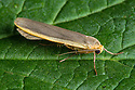 Common Footman moth {Eilema lurideola} Oxfordshire, UK. July.
