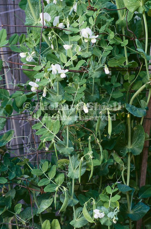 11659-CQ Edible-Pod Sugar or Snow Peas, aka Chinese Pea Pods, Pisum sativum `Mammoth Melting Sugar', in March, at Bakersfield, CA USA