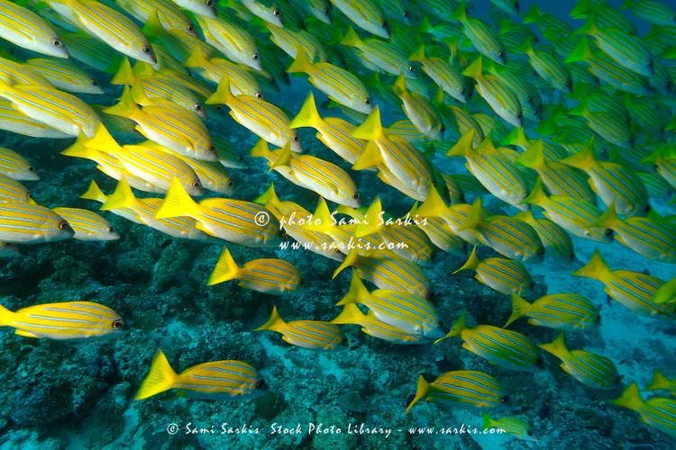 School of blue stripe snapper (lutjanus kasmira), Ari Atoll, Maldives.