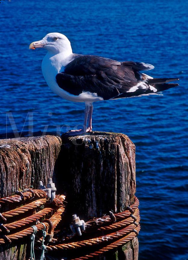 Seagull on dock.