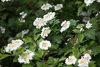 Gemeiner Schneeball, Gewöhnlicher Schneeball, Schneeball, Blüte, blühend, Viburnum opulus, guelder-rose, European Cranberrybush, Cranberrybush, Guelder Rose, La viorne obier