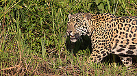 This female jaguar put on a nice show for us on our first day, hunting along the river in late afternoon light.