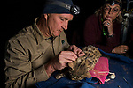 Black-footed Cat (Felis nigripes) biologist, Alex Sliwa, collaring male at night with veterinarian, Birgit Eggers, Benfontein Nature Reserve, South Africa
