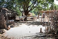Myanmar, Burma, near Bagan.  Village Farmer's Compound, Pig, Cattle.