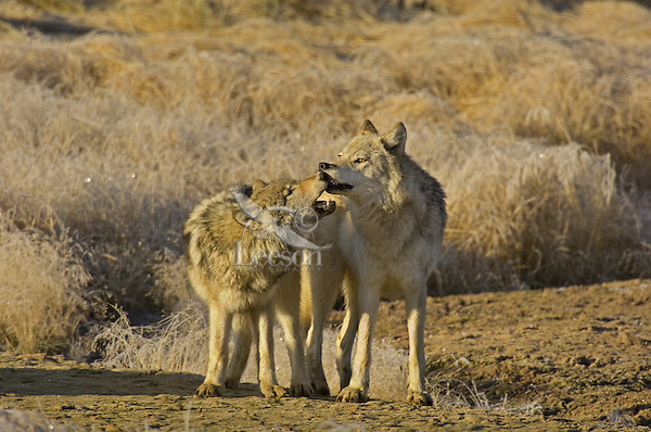Wild GRAY WOLF (Canis lupus) behavior--approximately 6 month old pup on left playing with mom (most likely begging for food by touching mom's mouth.)  Greater Yellowstone Ecological Area.  Fall.