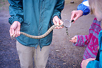 Rattlesnake being shown to students. Hancock Field Station, Oregon.
