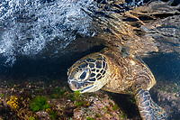 green sea turtle, Chelonia mydas, feeding on algae, endangered species, Laniakea Beach, Oahu, Hawaii, USA, Pacific Ocean