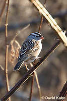 0106-1006  White-crowned Sparrow, Zonotrichia leucophrys  © David Kuhn/Dwight Kuhn Photography