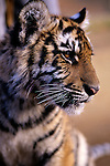Baby Tiger cub at the West Coast Game Park  Bandon, Oregon State USA