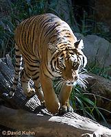0328-1005  Malayan Tiger, Panthera tigris malayensis  © David Kuhn/Dwight Kuhn Photography.