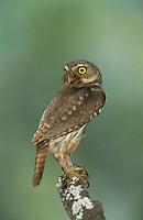 Ferruginous Pygmy-Owl, Glaucidium brasilianum , adult, Willacy County, Rio Grande Valley, Texas, USA, June 2004