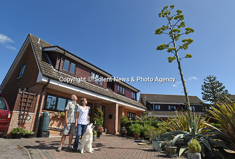Pictured:  Rob and Julie Crook stood in their front garden with Lola with the giant agave spike.<br /> <br /> An exotic 'tequila plant' has suddenly rocketed to 25ft in height after mysteriously sprouting in a couple's front garden after two decades lying dormant.  The giant agave's stalk unexpectedly began shooting up 12 weeks ago and now towers over owners Rob and Julie Crook's two-storey home in a little cul-de-sac.<br /> <br /> The grandparents-of-two have been left stunned by the plant's 'Jack and the Beanstalk' type growth after planting it in 2005.  Mrs Crook was gifted a six-inch pup - an offspring of the parent plant - by a friend 20 years ago after her fascination with the asparagus-like shrub.<br /> <br /> But the 59-year-old said she never expected the agave to grow to such heights at the front of the couple's home in the small Hampshire village of Charlton.  SEE OUR COPY FOR DETAILS.<br /> <br /> © Simon Czapp/Solent News & Photo Agency<br /> UK +44 (0) 2380 458800