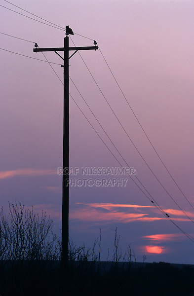 Great Horned Owl, Bubo virginianus , adult on telephone post at sunset, Lake Corpus Christi, Texas, USA, March 2003