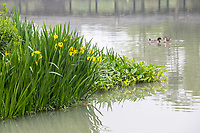 Yangzhou, Jiangsu, China.  Ducks on a Pond, Bonsai Garden, Slender West Lake Park.