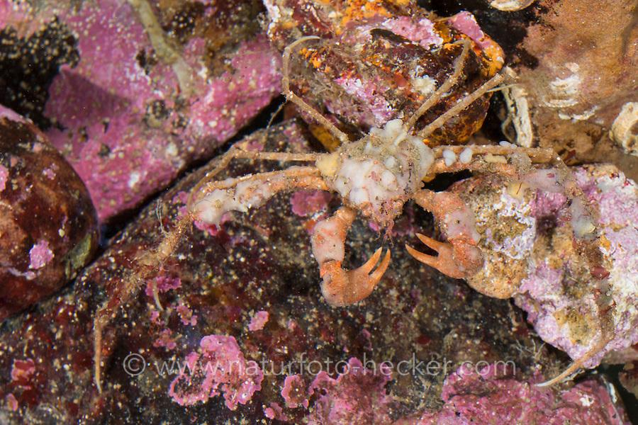 Dornige Gespensterkrabbe, Seespinne, Anemonenkrabbe, Inachus dorsettensis, Inachus dorsetensis, Scorpion spider crab, spider crab