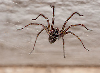 Common house spider on it's web.