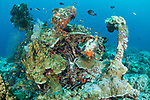 Munda, Western Province, Solomon Islands; one of the front landing wheels of a Grumman F4F Wildcat fighter plane, which crashed into the sea during WWII, resting upside down on the sea floor, encrusted in corals and sponges and surrounded by schools of glassfish and golden sweepers, the plane was shot down by Japanese fighter planes on  Aug 4, 1943 and was piloted by Navy Reserve Lt. j.g. Irvin E. Rink