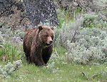 Grizzly bears are frequently seen in Yellowstone.
