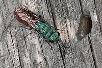 Goldwespe, Chrysura radians, Chrysis radians, Goldwespen, Chrysididae, cuckoo wasp, cuckoo wasps, Kärnten, Österreich