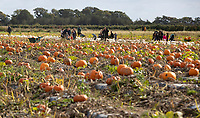BNPS.co.uk (01202) 558833. <br /> Pic: CorinMesser/BNPS<br /> <br /> P p p pick up a pumpkin...<br /> <br /> Families flock to Sopley Farm near Christchurch, Dorset to pick out a pumpkin in time for halloween.