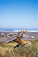 Roosevelt Elk bull along Gold Bluffs Beach, Prairie Creek Redwoods State Park, Northern California.  Sept.