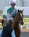 HALLANDALE BEACH, FL - JANUARY 28:   #12 Suffused (GB) with jockey Jose L Ortiz on board heads to the winners circle after his win of the La Prevoyante G3 Stakes  on Pegasus World Cup Invitational Day at Gulfstream Park on January 28, 2017 in Hallandale Beach, Florida. (Photo by Liz Lamont/Eclipse Sportswire/Getty Images)