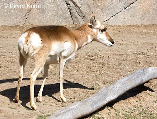 0606-1118  Pronghorn (Prong Buck), Antilocapra americana  © David Kuhn/Dwight Kuhn Photography
