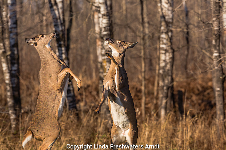 Two white-tailed does fighting