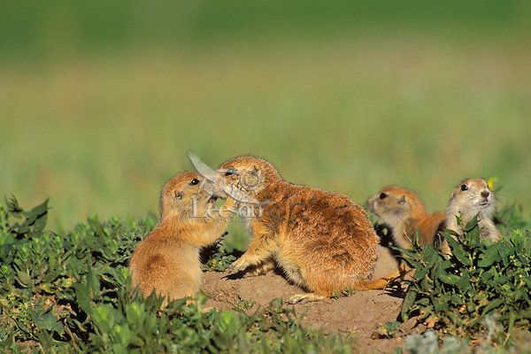 Young Black-tailed Prairie Dog (Cynomys ludovicianus) greets an adult near burrow.