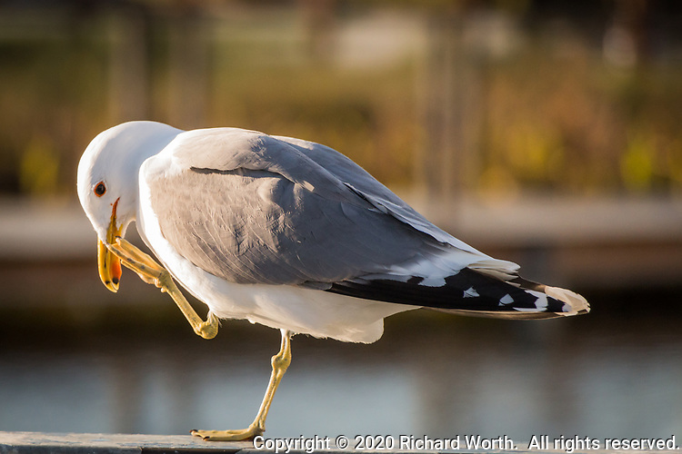 A California gull, with one leg raised to its bill, stands on a railing at a neighborhood park and pond near San Francisco Bay only days before the first day of spring.