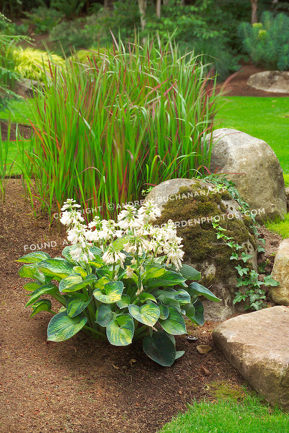 Detail of a decorative, moss-covered rock, blooming hosta, and Japanese Bloodgrass in this small suburban backyard garden east of Seattle. Design by Sander Groves landscapes, Inc.