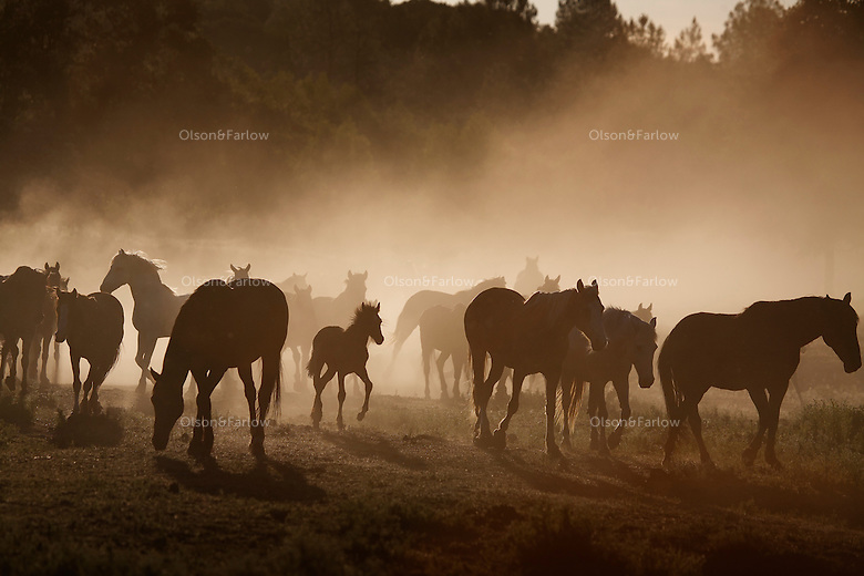 """Dust rises in summer dry heat as a herd of mustangs moves to water. Horses are social animals and there is a hierarchy among them as to who drinks first.<br /> <br /> Dianne Nelson has saved mustangs on a ranch in northern California at the Wild Horse Sanctuary.  """"It was in 1978 that the Wild Horse Sanctuary founders rounded up almost 300 wild horses for the Forest Service in Modoc County, California. Of those 300, 80 were found to be un-adoptable and were scheduled to be destroyed at a government holding facility near Tule Lake, California. The Sanctuary is located near Shingletown, California on 5,000 acres of lush lava rock-strewn mountain meadow and forest land."""
