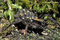 LC01-001z  Wolf Spider - with young on back - Trochosa terricola