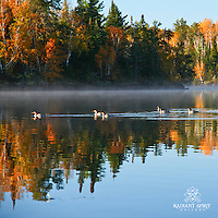 """""""Fall Paddlers"""" ~ This group of common mergansers agreed that it was a fine Fall morning for a paddle.  North Kawishiwi River in Boundary Waters Canoe Area Wilderness (BWCAW)."""